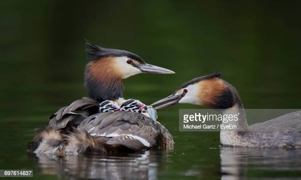 Great Crested Grebes With Chicks Swimming On Lake