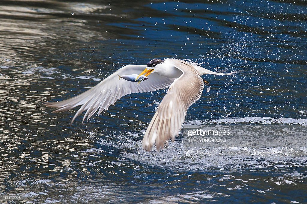 Great  crested tern : Stock Photo