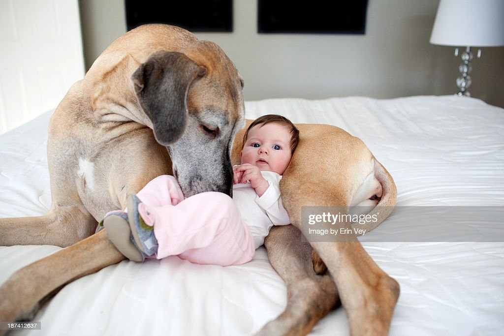 Great Dane and baby : Stock Photo