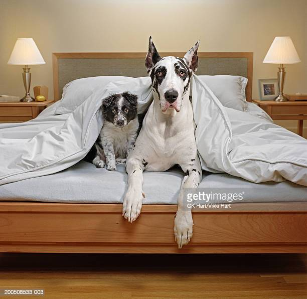 great dane and border collie puppy in bed - two animals stock pictures, royalty-free photos & images