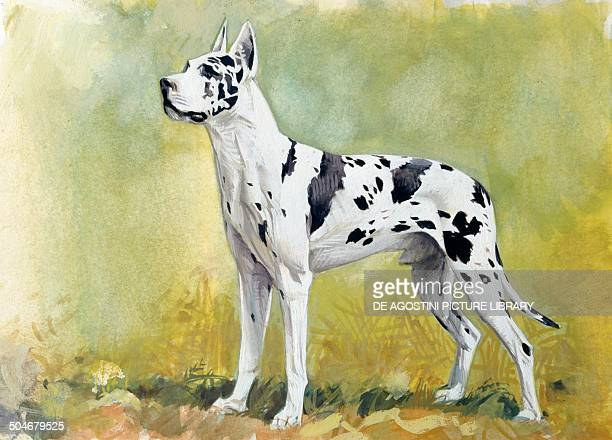 Great Dane Canidae drawing