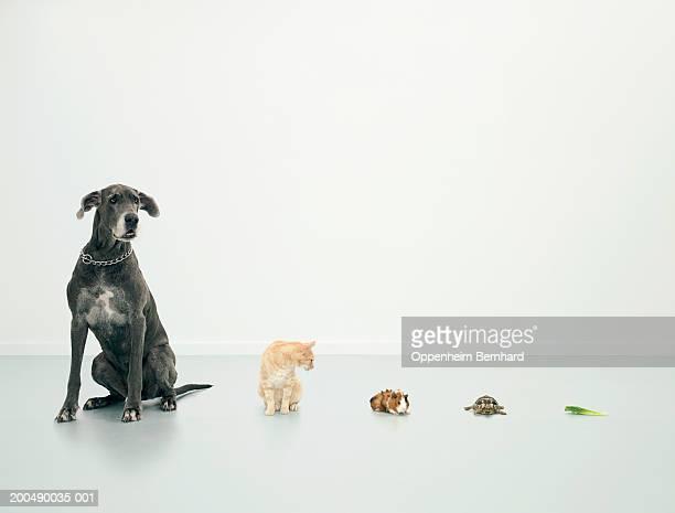 Great Dane, cat, guinea pig, tortoise and lettuce leaf in line