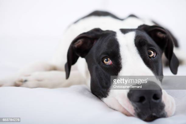 Great dane dog laying in bed