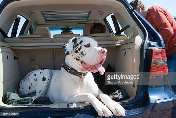 Great Dane dog laying in the car