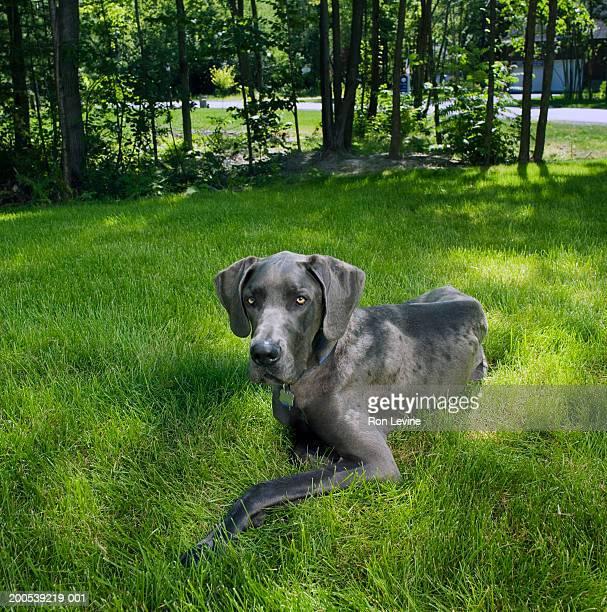Great Dane dog lying on grass