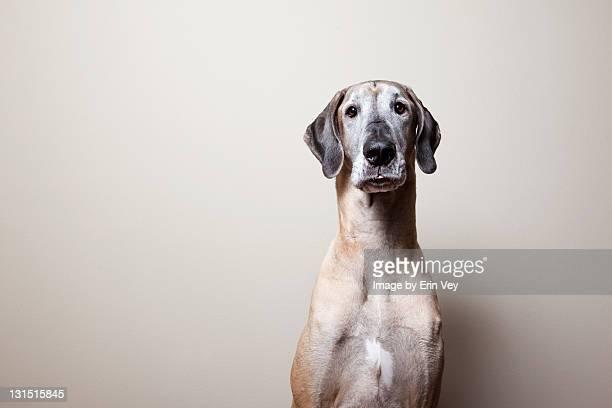 Great dane dog