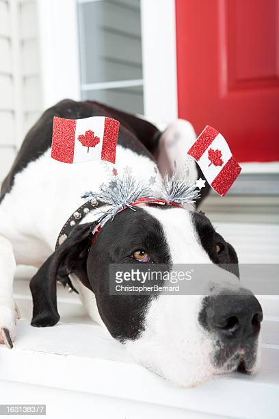 Great Dane enjoying Canada Day