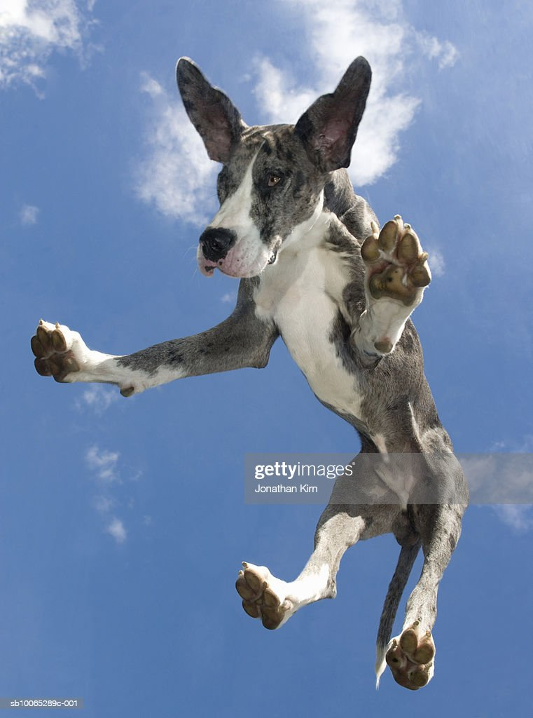 Great Dane falling from the sky : Foto stock