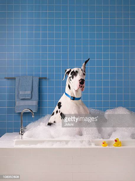 Great dane getting a bath with blue tile in background.