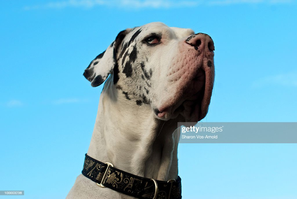 Great Dane  head held high surrounded by blue sky : Stock Photo
