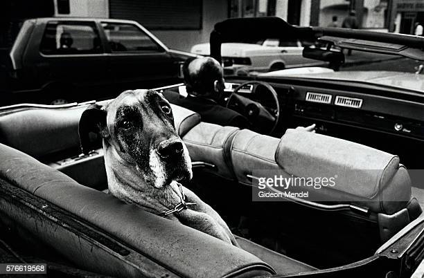 Great Dane in American Convertible