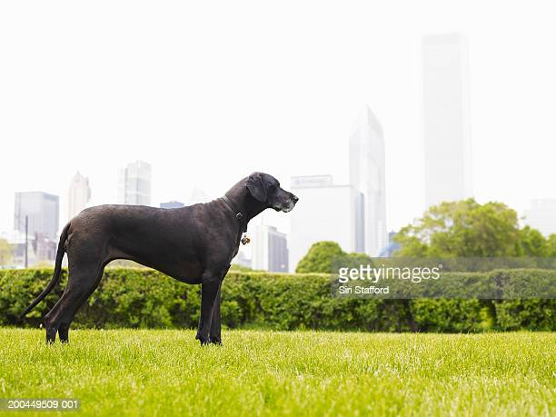 great dane in park - great dane stock pictures, royalty-free photos & images