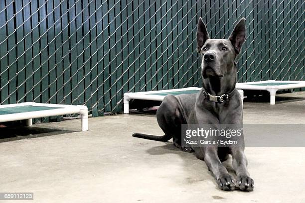 great dane lying down on floor in room - great dane stock pictures, royalty-free photos & images