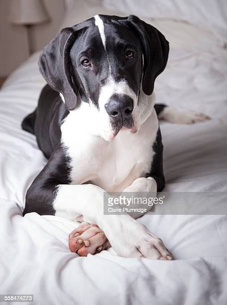 Great Dane on a bed