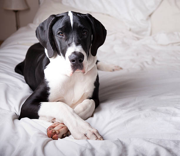Great Dane On A Bed Wall Art