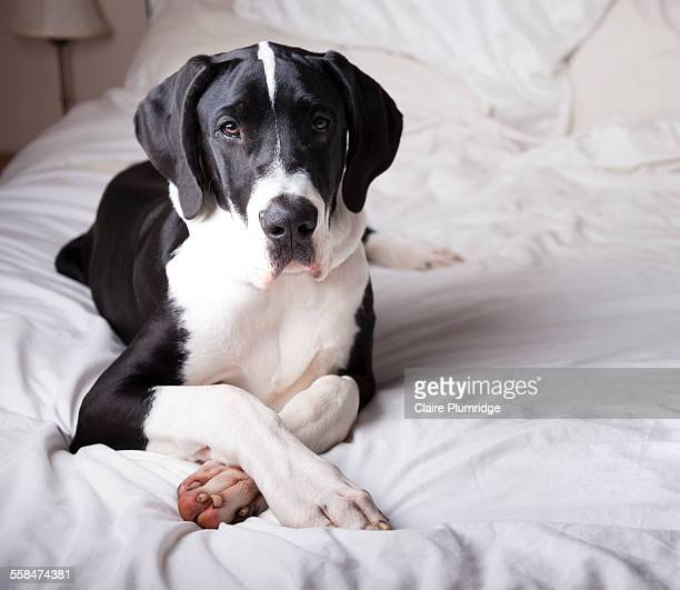 great dane on a bed - great dane stock pictures, royalty-free photos & images