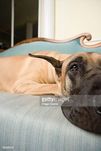 Great dane on a sofa
