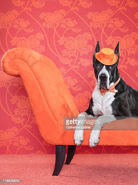 Great Dane (Canis lupus familiaris) on couch