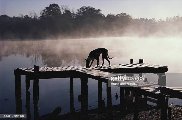 Great Dane on dock, early morning