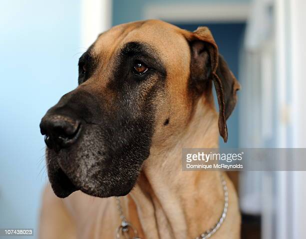 great dane - great dane stock pictures, royalty-free photos & images