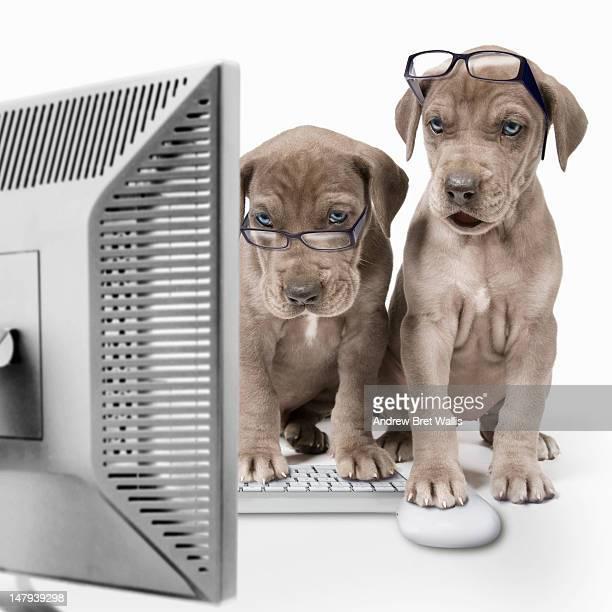 Great Dane puppies using a desktop computer