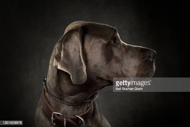 great dane puppy dog - animal body part stock pictures, royalty-free photos & images