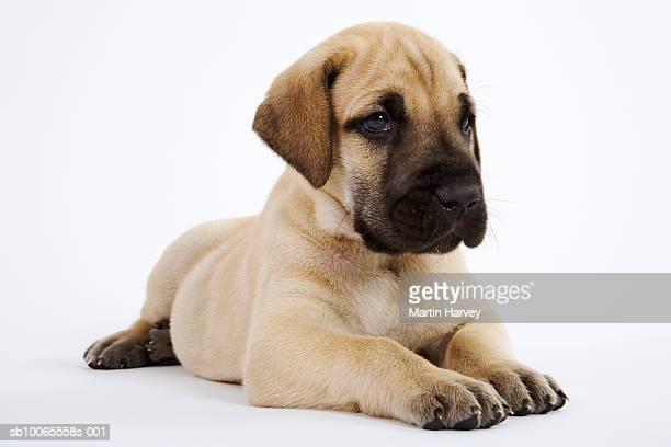 Great Dane puppy lying in studio