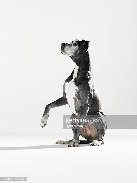 Great Dane raising paw, looking up