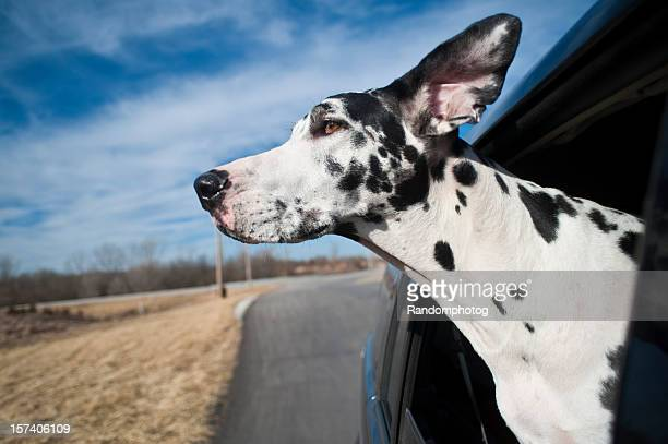 great dane riding - harlequin stock photos and pictures