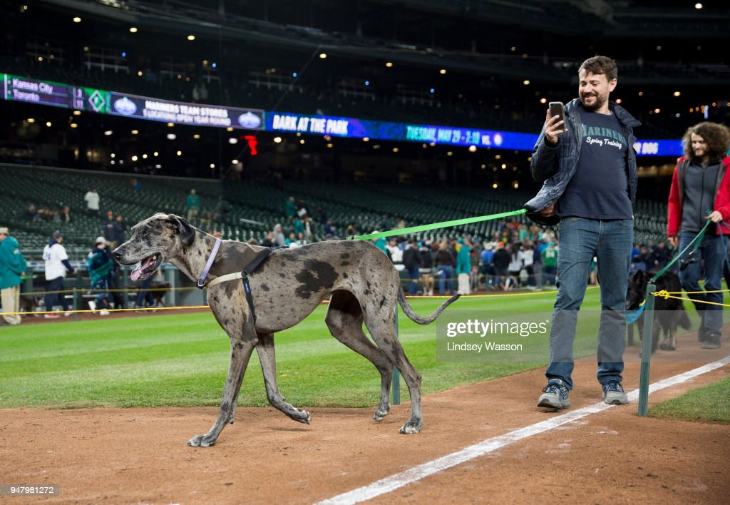 A Great Dane saunters towards home during 'Bark at the Park' night after the game at Safeco Field on April 17, 2018 in Seattle, Washington. The Houston Astros beat the Seattle Mariners 4-1.
