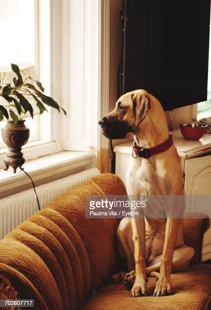 great dane sitting on sofa at home - great dane stock pictures, royalty-free photos & images