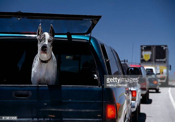 A Great Dane staring out the window of a truck on the highway, Moab, Utah, USA