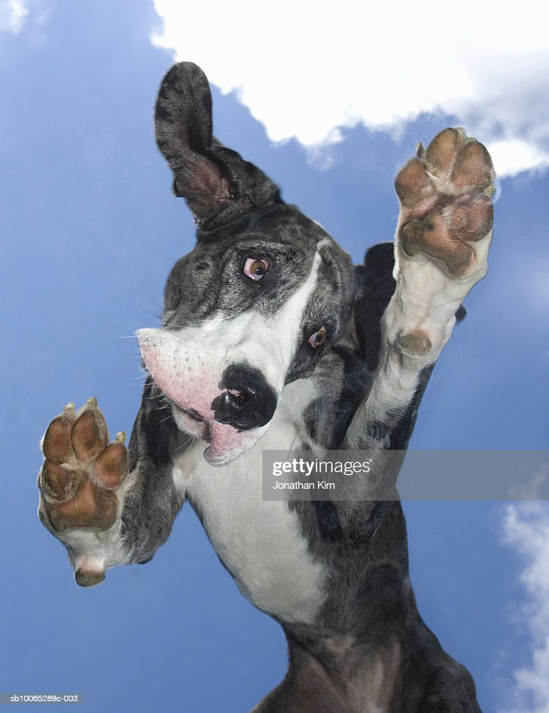 Great Dane with sad expression on face outside : Foto stock