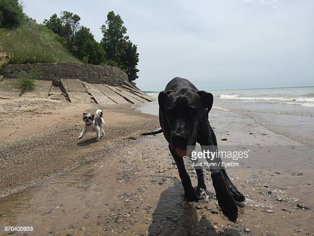 Great Dane With Shih Tzu Running On Shore Against Sky