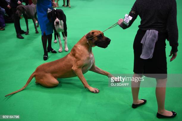Great Danes are judged on the first day of the Crufts dog show at the National Exhibition Centre in Birmingham, central England, on March 8, 2018. /...