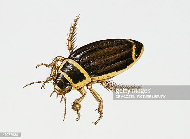 Great Diving beetle Dytiscidae Artwork by Sandra Pond
