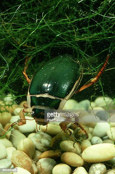 great diving beetle: dytiscus marginalis  male  studio - diving beetle stock pictures, royalty-free photos & images