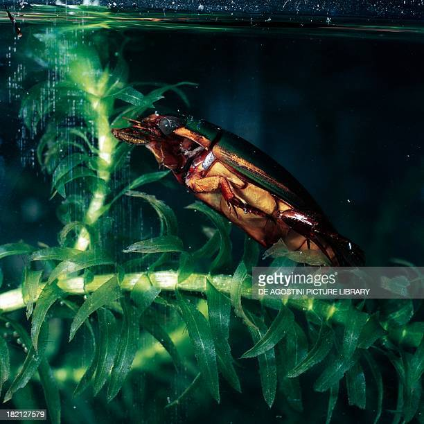 Great diving beetle male on a freshwater plant Dytiscidae