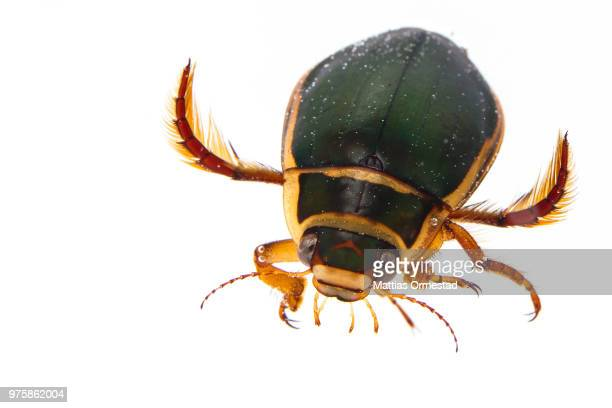great diving beetle - diving beetle stock pictures, royalty-free photos & images