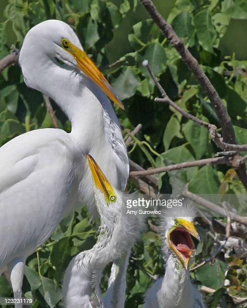 great egret adult and chicks - high_island stock pictures, royalty-free photos & images
