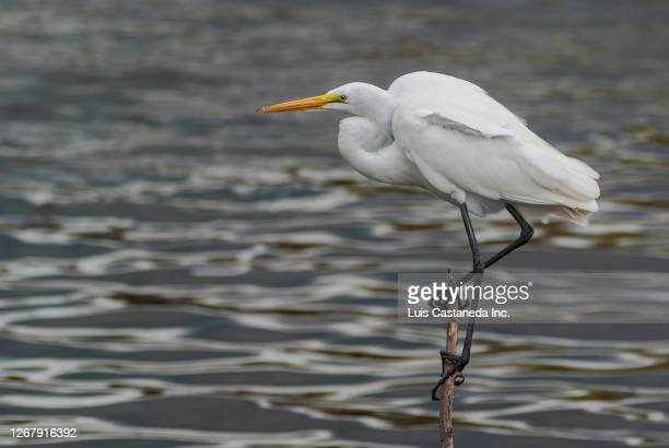 great egret - american egret (casmerodius albus) - anhinga_trail stock pictures, royalty-free photos & images