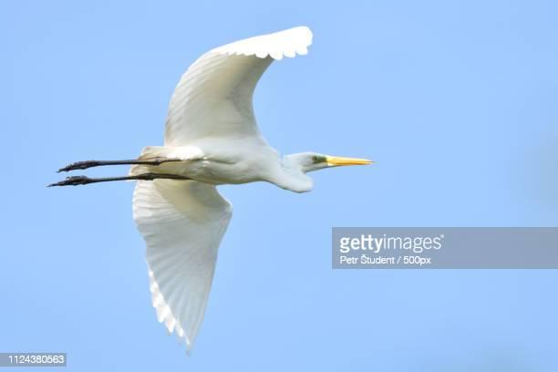 great egret ardea alba real wildlife - no zoo - antarctic sound stockfoto's en -beelden