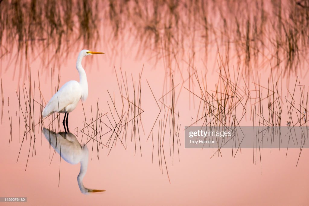 Great Egret at Sunrise in a Pink Colored Marsh : Stock Photo