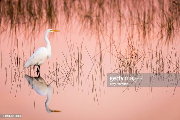 great egret at sunrise in a pink colored marsh - salt_marsh stock pictures, royalty-free photos & images