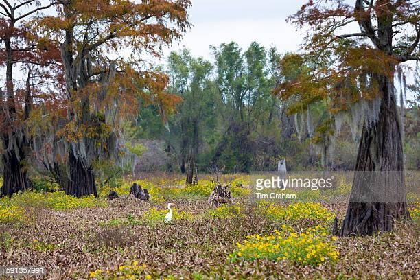 Great Egret bird Ardea alba and bald cypress trees in Atchafalaya Swamp National Wildlife Reserve bayou country Louisiana USA
