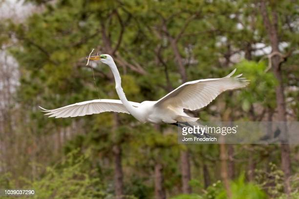 Great Egret (Ardea alba) carrying nesting materials, Gator Park, Kissimmee, Florida, USA