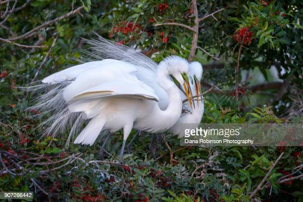 Great egret couple adding a stick to their nest, Venice Rookery, Venice, Florida