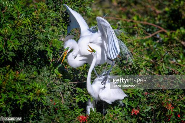 Great egret (Ardea alba) couple after finishing mating at Venice