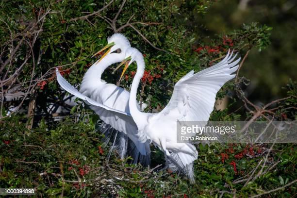 Great egret (Ardea alba) couple at Venice Rookery, Venice, Flori