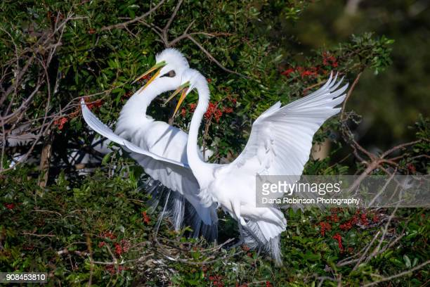 great egret couple at venice rookery, venice, florida - rookery stock pictures, royalty-free photos & images